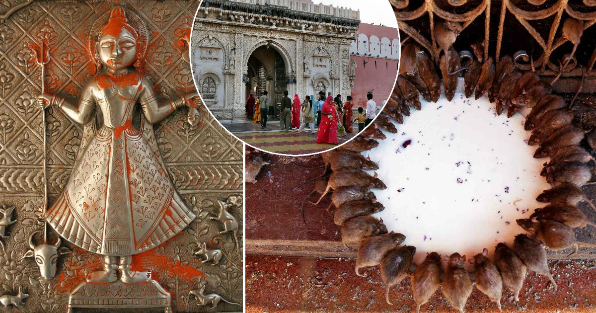 Фото Зачем тысячи людей стремятся в индийский храм, где обитают 250 тысяч крыс
