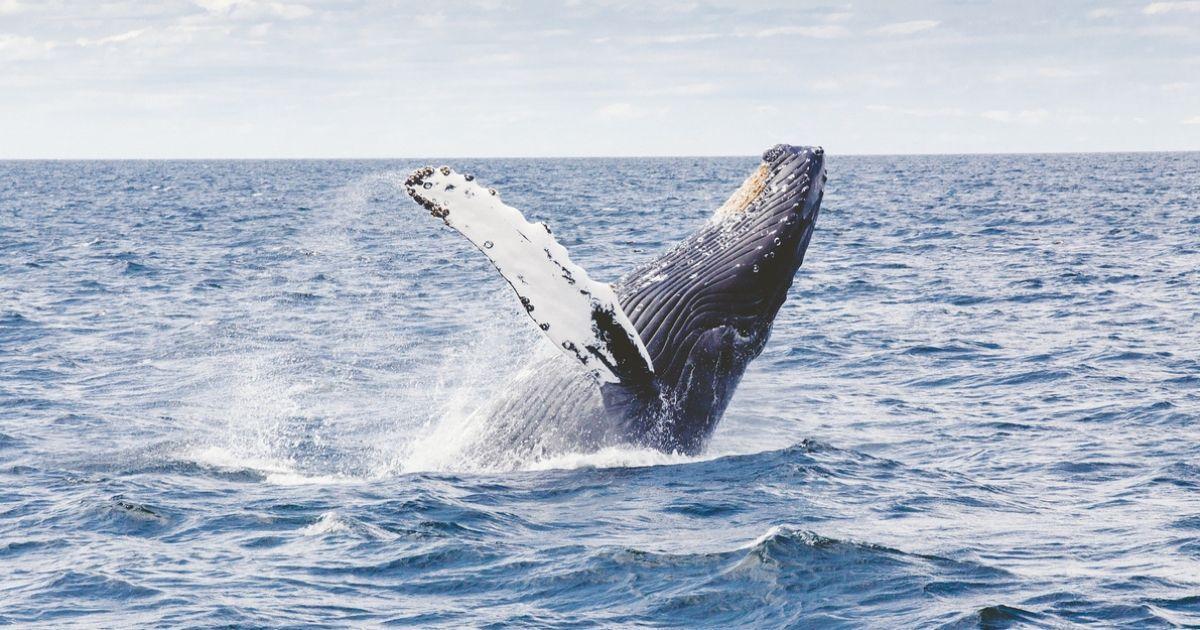 Фото Ученые: Горбатые киты больше не поют рядом с морскими судами. Почему?