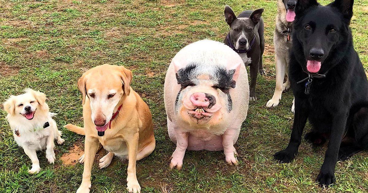 Фото Свой среди чужих. Свинка считает себя псом и живет с 5 собаками