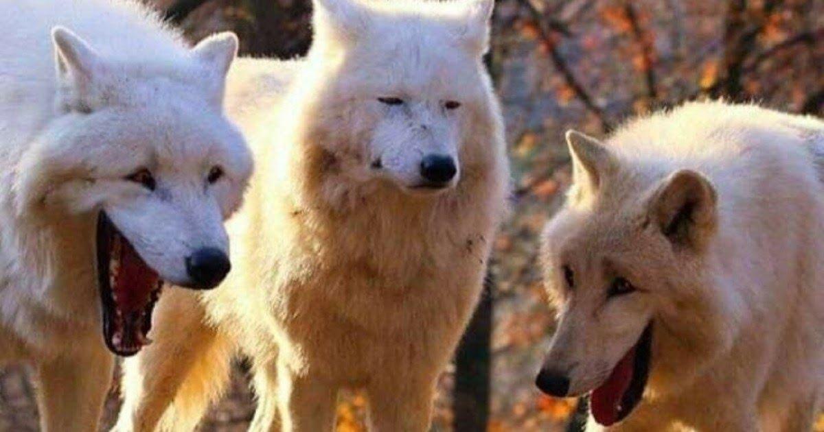Фото Смеющиеся волки: мем с тремя белыми волками. Шаблон и картинки