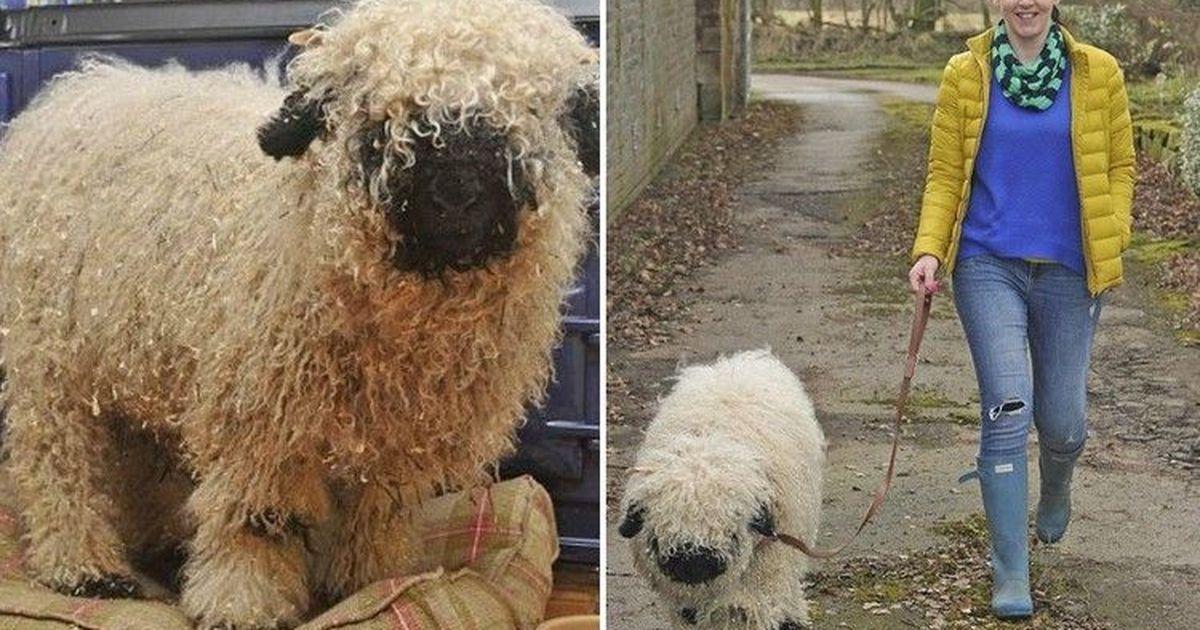 Фото Домашний питомец: история ягненка, считающего себя собакой