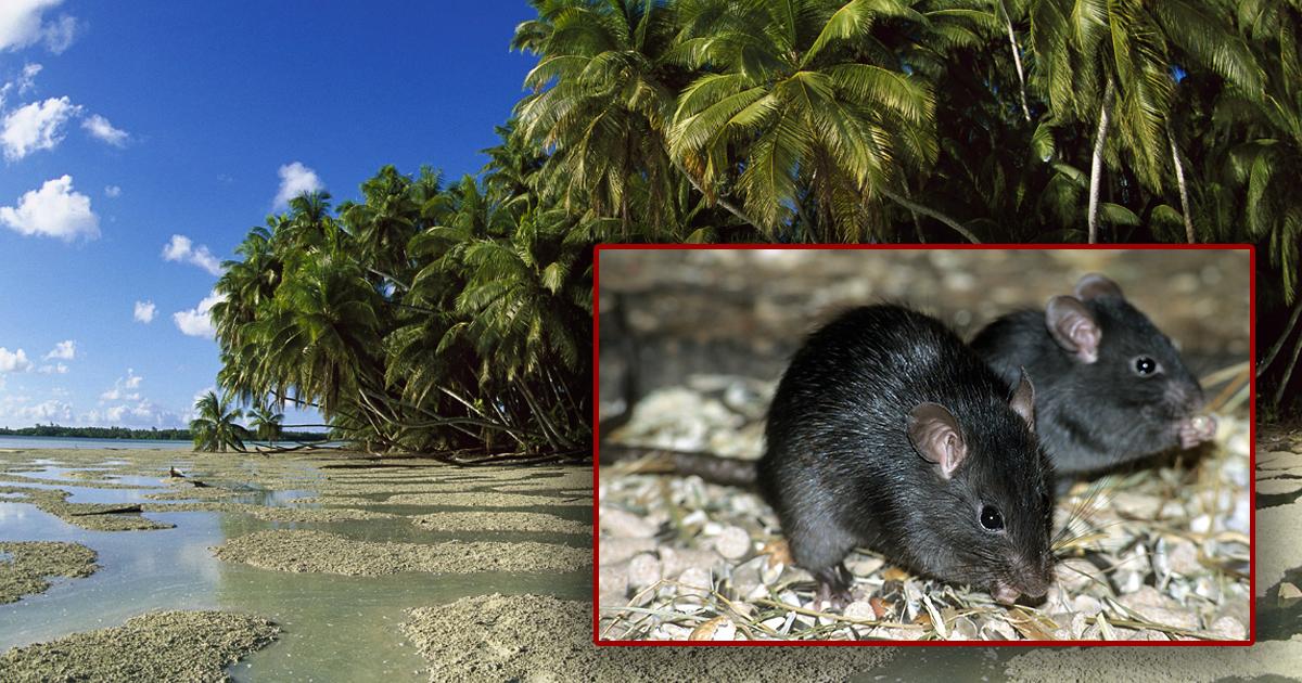 Фото Исчезновение крыс привело к 50-кратному росту редких деревьев