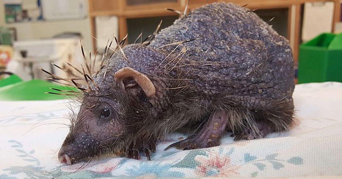Фото Облысевшему из-за инфекции ежу удалось восстановить свои колючки