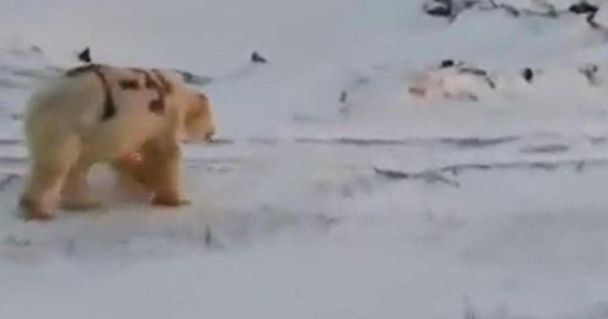 Фото «Деды воевали»: на Чукотке написали «Т-34» на боку белого медведя