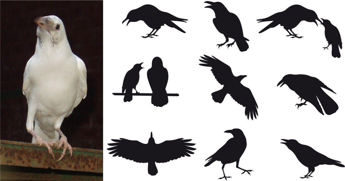 Фото Белая ворона: значение фразеологизма и примеры предложений