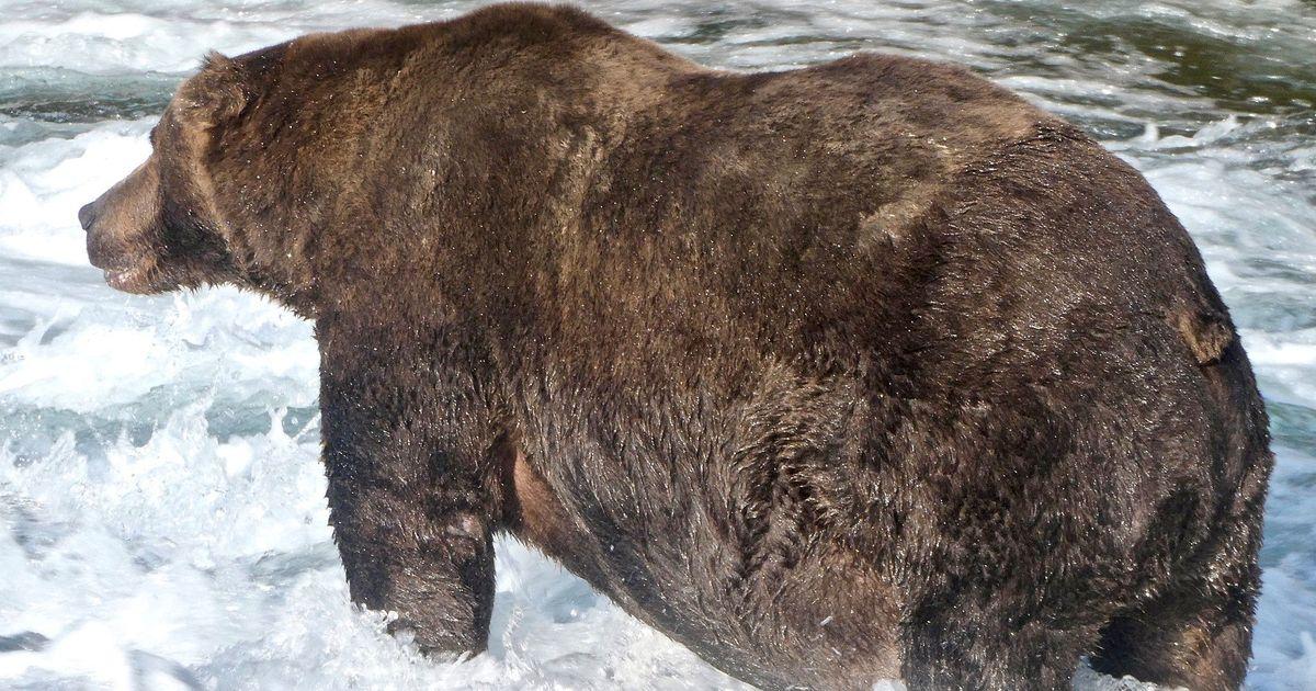Фото На Аляске выбрали самого толстого медведя года