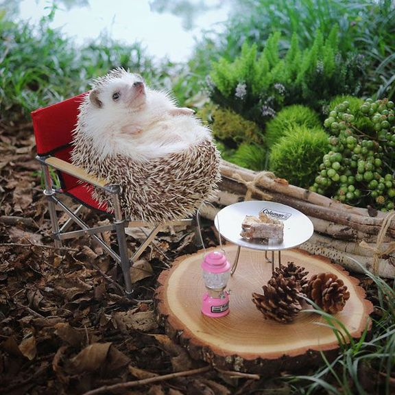 hedgehog azuki goes on camping trip 2 Tiny Japanese Hedgehog Goes on Big Awesome Camping Trip